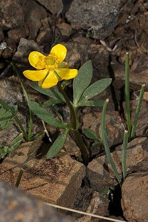 Ranunculus - Sagebrush buttercup (Ranunculus glaberrimus)