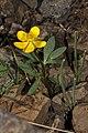 Ranunculus glaberrimus 1763f.JPG
