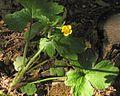 Ranunculus lanuginosus PID1801-1.jpg