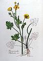 Ranunculus philonitis — Flora Batava — Volume v8.jpg