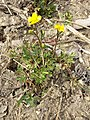 Ranunculus repens sl3.jpg