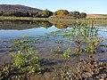 Ranunculus sceleratus sl22.jpg