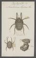 Raphignatus - Print - Iconographia Zoologica - Special Collections University of Amsterdam - UBAINV0274 071 03 0018.tif