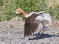 Recurvirostra americana -Klamath Basin National Wildlife Refuge Complex, California, USA-8.jpg