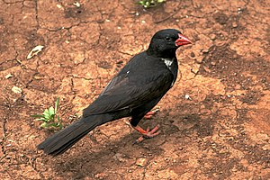 Ploceidae - Image: Red billed Buffalo Weaver