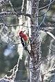 Red-breasted Sapsucker 501 (27231713818).jpg