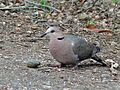 Red-eye Dove (Streptopelia semitorquata) (6045312469).jpg