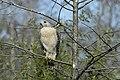 Red-shouldered Hawk.jpg