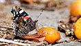 Red Admiral (35638061203).jpg