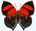 Red Heart (Siderone marthesia) (8361382603).jpg