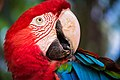 Red Macaw Smiling.jpg