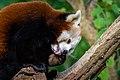 Red Panda (26772984279).jpg