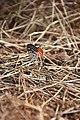 Red Pierrot (Talicada nyseus) -ചെങ്കോമാളി.jpg