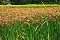 Red Rice Paddy field in Japan 002.jpg