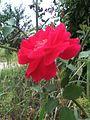 Red Roses In Nepal.jpg