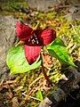 Red Trillium (34123191031).jpg