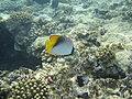 Red sea-reef 3264.jpg