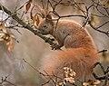 Red squirrel (49315142956).jpg
