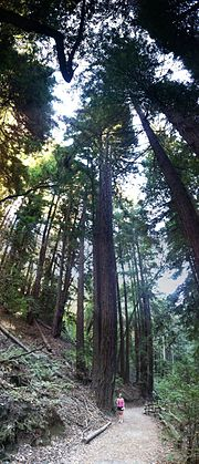 Redwood tree in Oakland California (person for comparison)IMG 4881.jpg