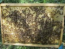 Panal con obreras y larvas, durante la revisión por parte de un apicultor.
