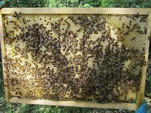 Eusociality - Co-operative brood rearing in honeybees