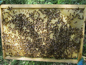Eusociality - Co-operative brood rearing in honeybees