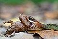Rhabdophis-chrysargos-specklebelly-keelback-kaeng-krachan-national-park.jpg