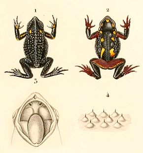 Description de l'image Rhinella spinulosa 1847.jpg.