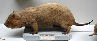 Large bamboo rat species of mammal
