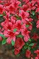 Rhododendron 'Picador' E-1 Flowers 5.JPG