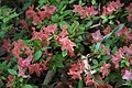Rhododendron Aladdin 0zz.jpg
