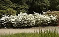 Rhododendron Annamaria C.jpg