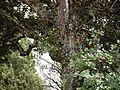 Rhododendron arboreum subsp. nilagiricum (6370051737).jpg