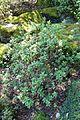 Rhododendron campylogynum - VanDusen Botanical Garden - Vancouver, BC - DSC07347.jpg
