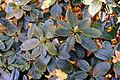 Rhododendron hippophaeoides - Botanischer Garten Braunschweig - Braunschweig, Germany - DSC04353.JPG