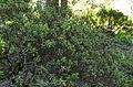 Rhododendron nivale subsp. boreale ÖBG 2012-05-20 01.jpg