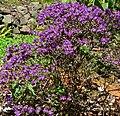 Rhododendron polycladum 1.jpg