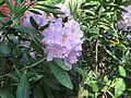 Rhododendron smirnowii 04.JPG