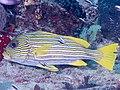 Ribbon sweetlips (Plectorhinchus polytaenia) (40815006423).jpg