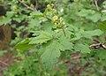 Ribes alpinum kz03.jpg