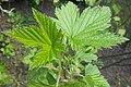 Ribes americanum 2017-04-30 8762.jpg