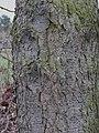 Rinde Prunus serotina März 2012.JPG