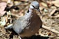 Ring-necked dove, Kruger National Park, South Africa (14795622519).jpg