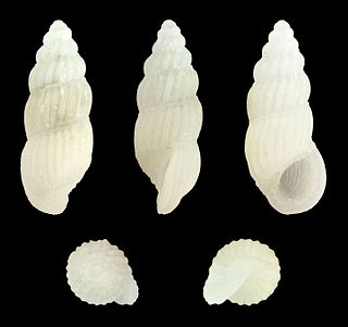 <i>Rissoina multicostata</i> species of mollusc