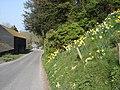 Roadside daffodils near Lullington Court - geograph.org.uk - 1163058.jpg
