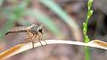 Robber Fly (15413112374).jpg