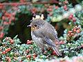 Robin in Wales.jpg
