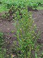 Rode ganzenvoet plant (Chenopodium rubrum).jpg
