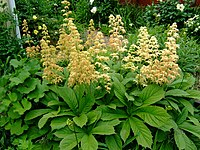 Rodgersia pinnata var. 'Superba'