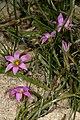 Romulea rosea 1DS-II 3-5929.jpg